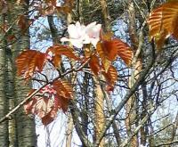 20080429山桜1