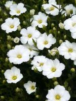 20080524白い花2