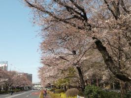 NHK国立 桜