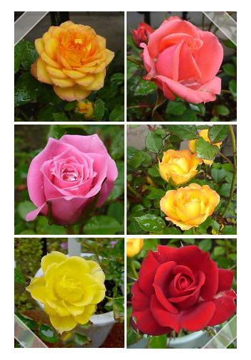 rose2-c.jpg