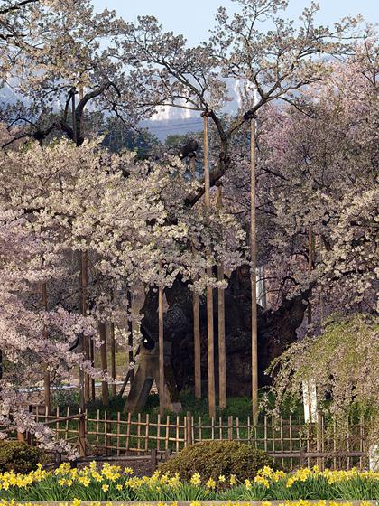 実相寺の山高神代桜2