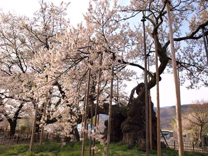 実相寺の山高神代桜1