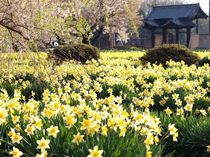 北杜市山高の実相寺境内の黄水仙