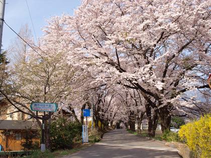 北杜市山高 真原桜並木1