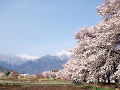 北杜市山高 真原桜並木2