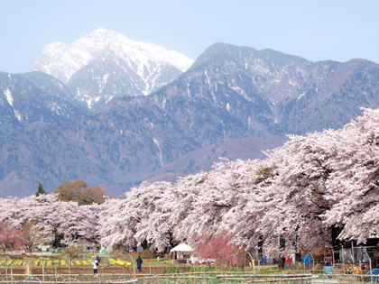 北杜市山高 真原桜並木3