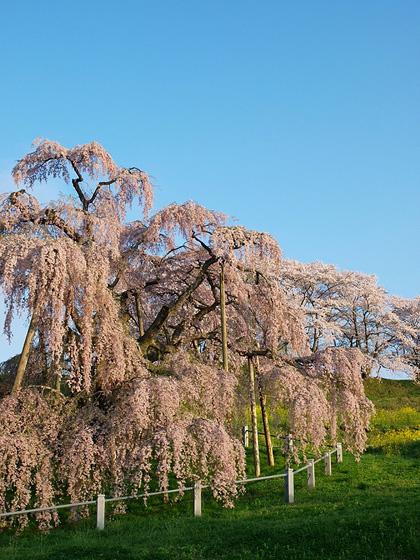 三春町滝桜1