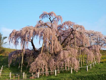 三春町滝桜2