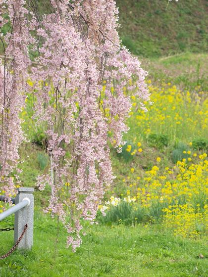 三春町滝桜5
