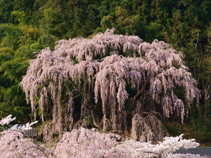福聚寺の桜1