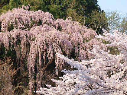 福聚寺の桜2