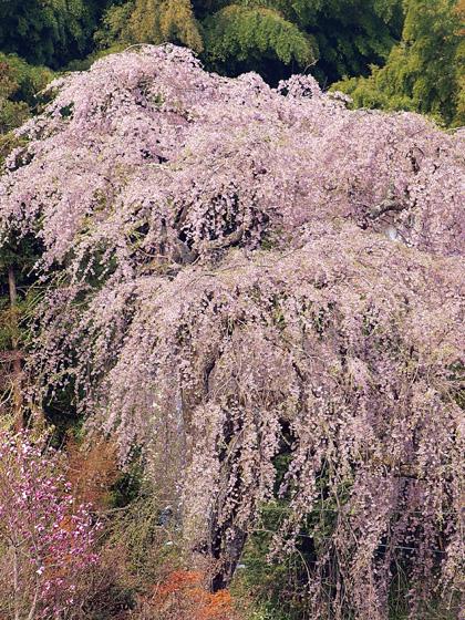 常楽院桜1