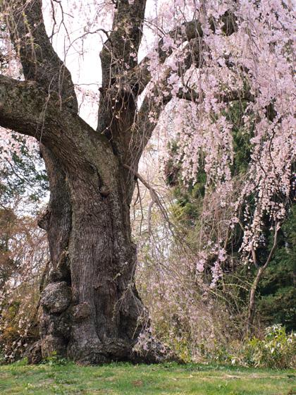 八十内かもん桜1