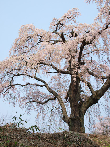 八十内かもん桜2