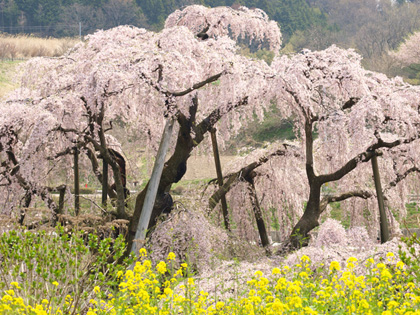 三春町滝桜7