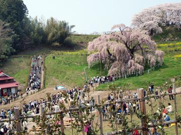 三春町滝桜3