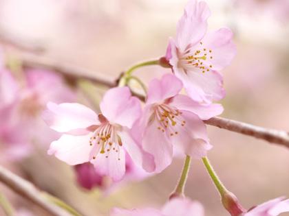紅枝垂れ地蔵桜4