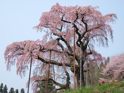 紅枝垂れ地蔵桜1