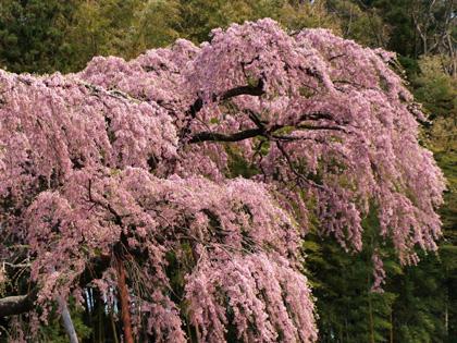 紅枝垂れ地蔵桜2