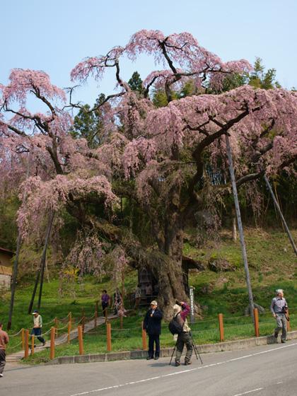 紅枝垂れ地蔵桜3