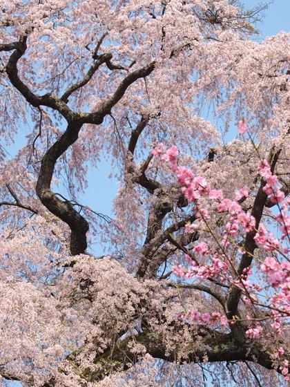 三春町薬師桜