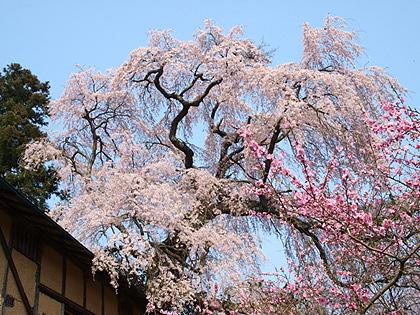 三春町薬師桜2