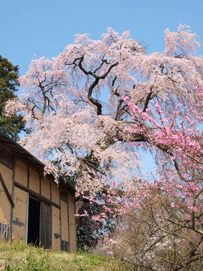 三春町薬師桜3