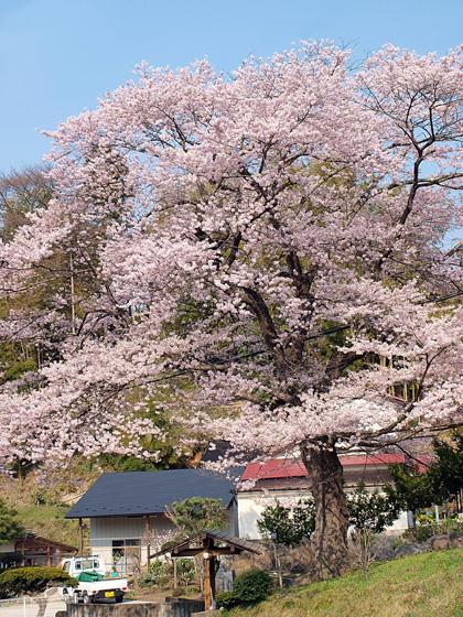 化粧坂の桜