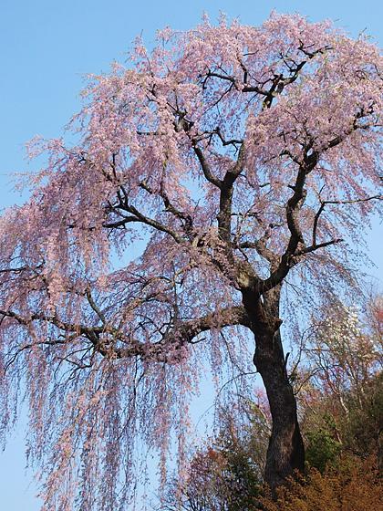 常楽院桜3