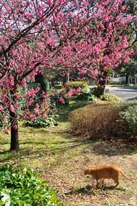 寒緋桜猫@日比谷公園