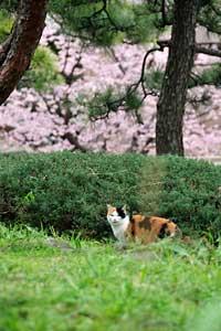 日比谷公園の大寒桜と三毛猫