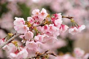 日比谷公園の大寒桜