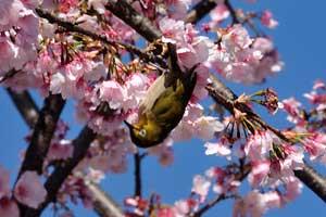 大寒桜@日比谷公園