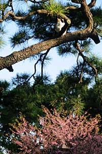 桜猫:松の木に登った三毛猫と後方の大寒桜