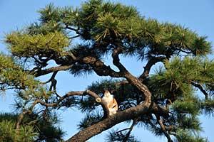 松の木に登った三毛猫@日比谷公園