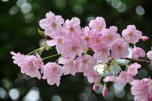 陽光桜@日比谷公園