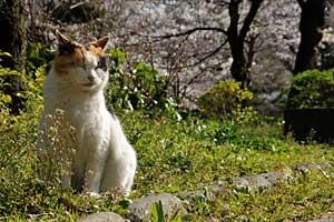 日比谷公園の三毛猫さくらと春の草と桜の花