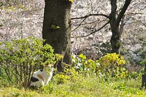日比谷公園の三毛猫さくらと、黄色い連翹の花、桜の花