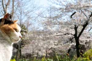 桜猫の横顔ポートレート