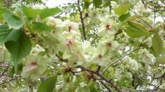 平野神社 鬱金桜