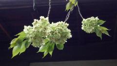 雨宝院 御衣黄桜