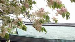白峯神社 鬱金桜