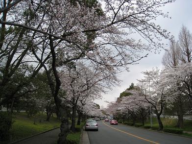 2008の桜