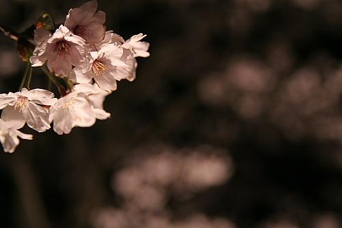 ポツリと桜・・・
