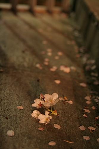 落ちた桜と影