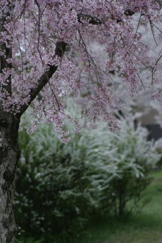 かもめ公園しだれ桜2