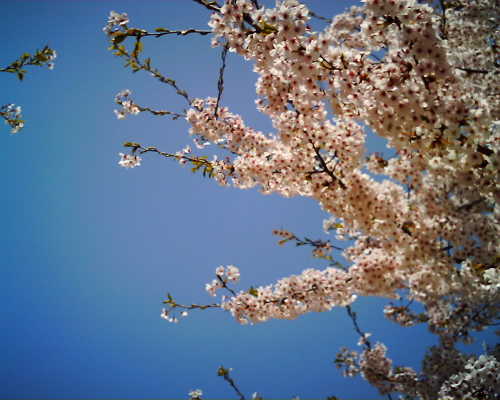 桜・・・変な色だ・・・