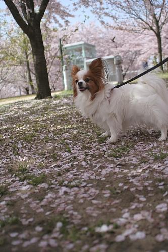 桜林の中は花びらがいっぱい!