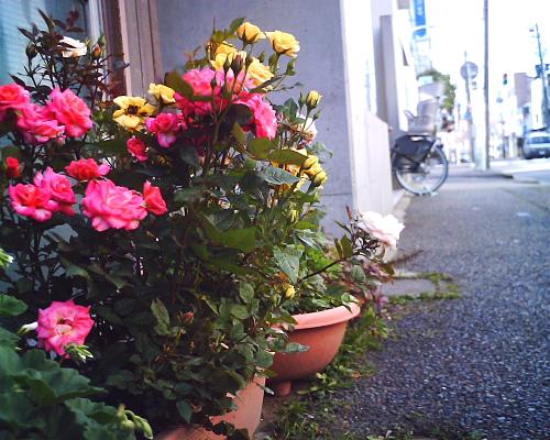 駐車場前の歩道のバラ