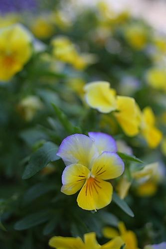 紫が混ざってきた黄色いビオラ